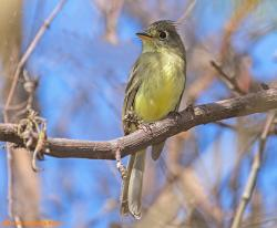 Pilated Flycatcher (Xenotriccus mexicanus)