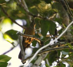 Pitphuí Variable (Pitohui kirhocephalus)