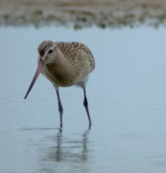 Aguja Colipinta (Limosa lapponica)