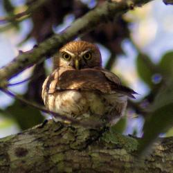 Tecolote (Glaucidium californicum)