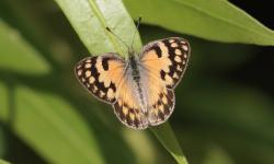 (Colotis amata)