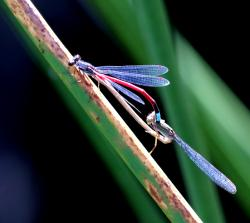 (Oxyagrion hempeli)