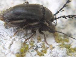 (Phytocerum sp.)