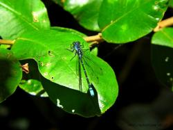 (Antiagrion grinbergsi)